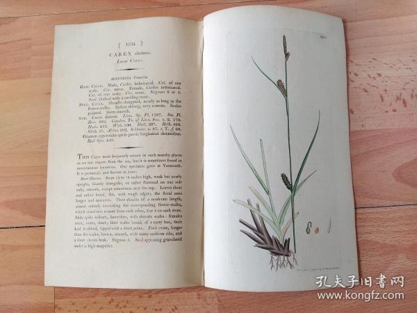 1805年铜版雕刻《爱德华·史密斯的英国植物花卉图谱1234:罂粟目--莎草科--苔草属--溪水苔草》(CAREX distans,Loose Carex)-- 由英国著名植物学家,詹姆斯·爱德华·史密斯(James Edward Smith)编辑,版画由英国画家James Sowerby(1757–1822)雕刻,伦敦林奈学会出版发行 -- 附英文详细说明,手工上色 -- 版画纸张28*23厘米