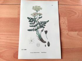 19世纪手工上色钢版画《英国植物花卉图谱605:伞形目--伞形科--熊根芹属--欧香叶芹》(Meum Athamanticum)-- 来自19世纪英国著名植物学家John T. Boswell的文献整理,插图出自英国画家John Edward Sowerby,大英博物馆出版 -- 纸张尺寸25.5*17.5厘米 -- 手工上色,非常精美