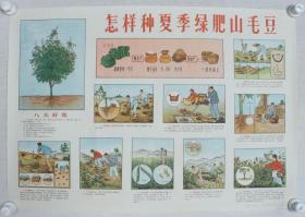 1966年 广西人民出版社出版 广西新华书店发行 广西农业厅作 宣传画《怎样种夏季绿肥山毛豆》一张(尺寸:53*76CM)HXTX383215