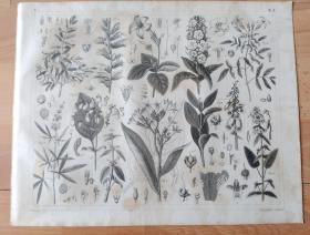 1848年钢版画《自然科学发展历程图版62:植物学,植物花卉,风铃草(桔梗科风铃草属草本植物)》(Campanula medium)-- 风铃草是桔梗科、风铃草属二年生宿根草本植物,株高50-120厘米;茎粗壮直立,基生;叶簇生,卵形至倒卵形;小花1-2朵聚生成总状花序,花冠钟形;原产于南欧等北温带地区至亚寒带地区 -- 德国莱比锡科学出版社出版 -- 版画纸张30*24厘米
