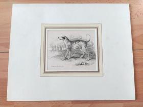 19世纪手工上色钢版画《动物图谱:世界名犬,大麦町犬》(DALMATIAN OR COACH DOG)-- 大麦町犬(也叫斑点狗),原产地为南斯拉夫,大麦町犬是一种有着历史悠久、体态优雅的动物,它那别具一格的斑点无疑是犬类中最显眼的标志之一 -- 卡纸画框30*24厘米,版画纸张17*11厘米